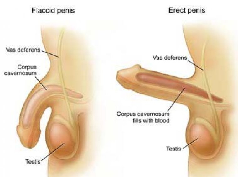flaccid-and-erect-penis